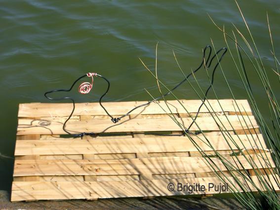 canard ou poule d'eau : BP