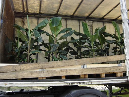 zoom sur bananiers dans camion en attente de partir aux champs elysées pour l'événement Nature Capitale