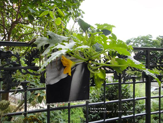 Dadagreen et sa fleur de courgette
